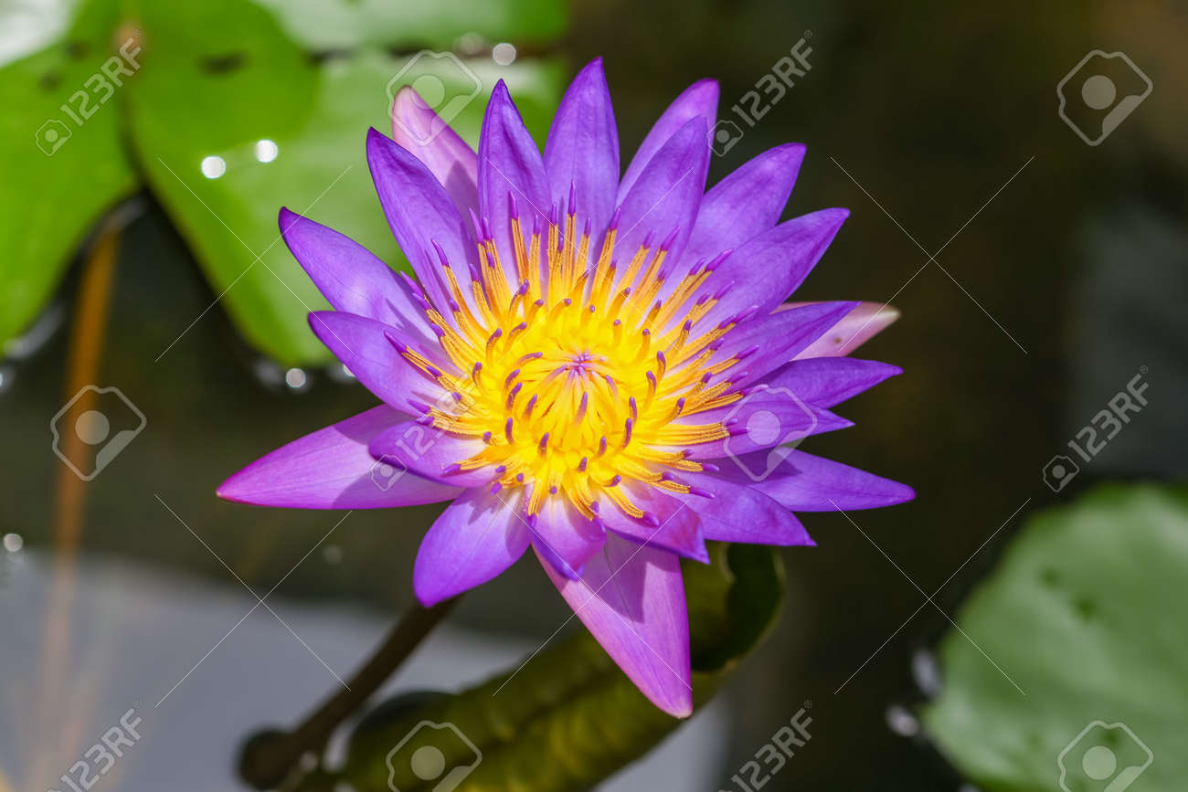 Close Up Asian Lotus Flower In Water Stock Photo Picture And