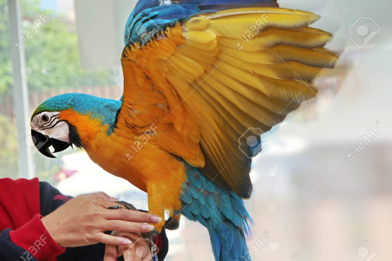5 months male blue and yellow macaw parrot in house the birds