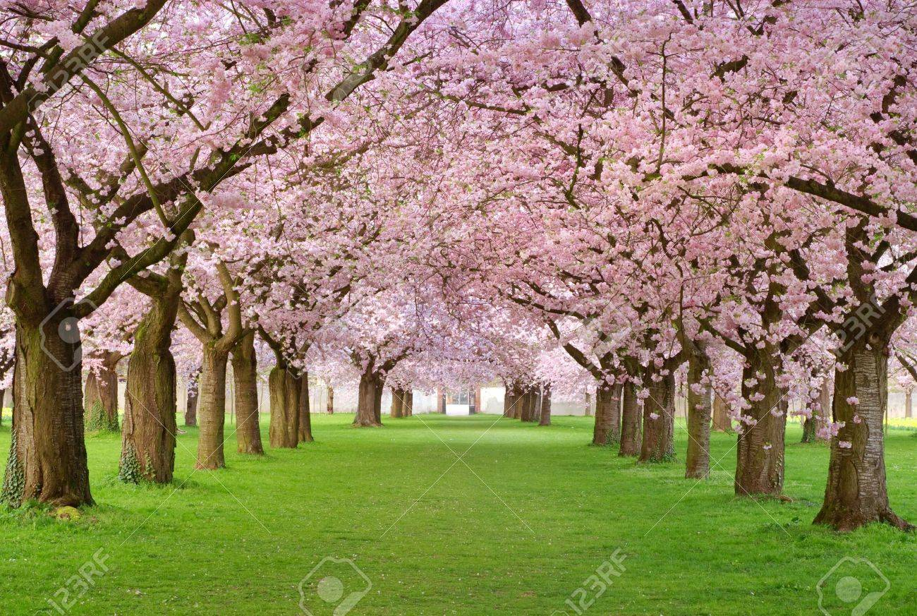 Rows of beautifully blossoming cherry trees on a green lawn Stock Photo - 6206775