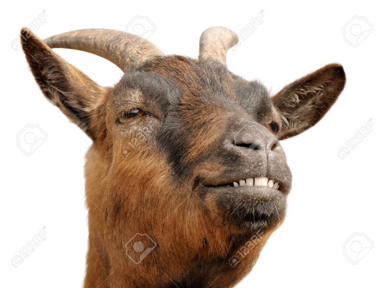 Cute animal portrait of a small goat looking happy and cheerful - 7055057