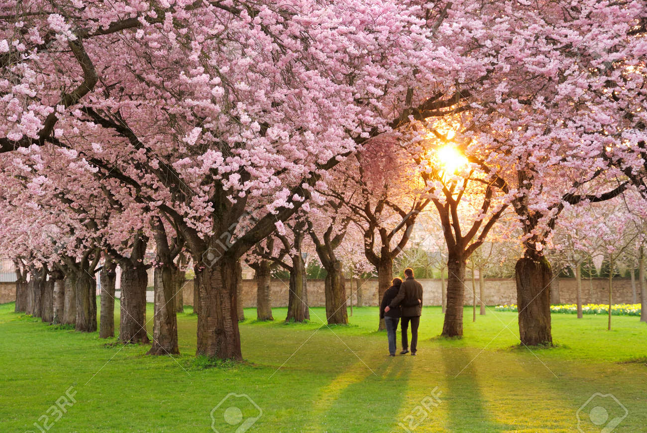A richly blossoming cherry tree garden at sunset being peacefully enjoyed by a walking couple Stock Photo - 8843747