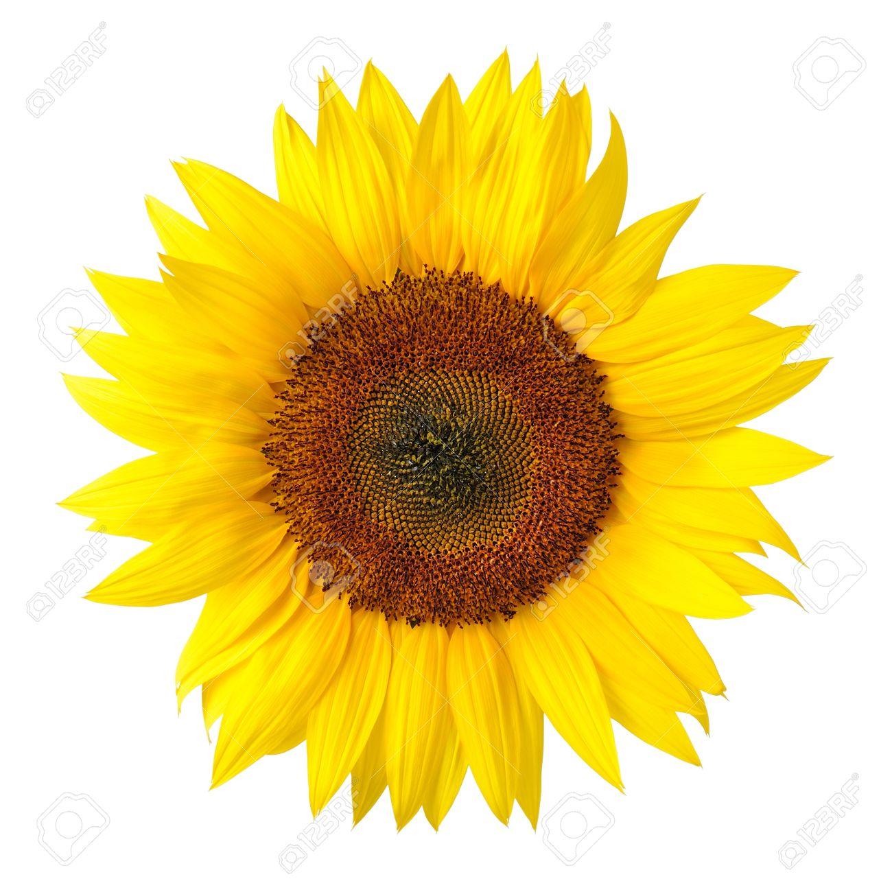 Bright Studio Shot Of A Large Beautiful Sunflower On White Background