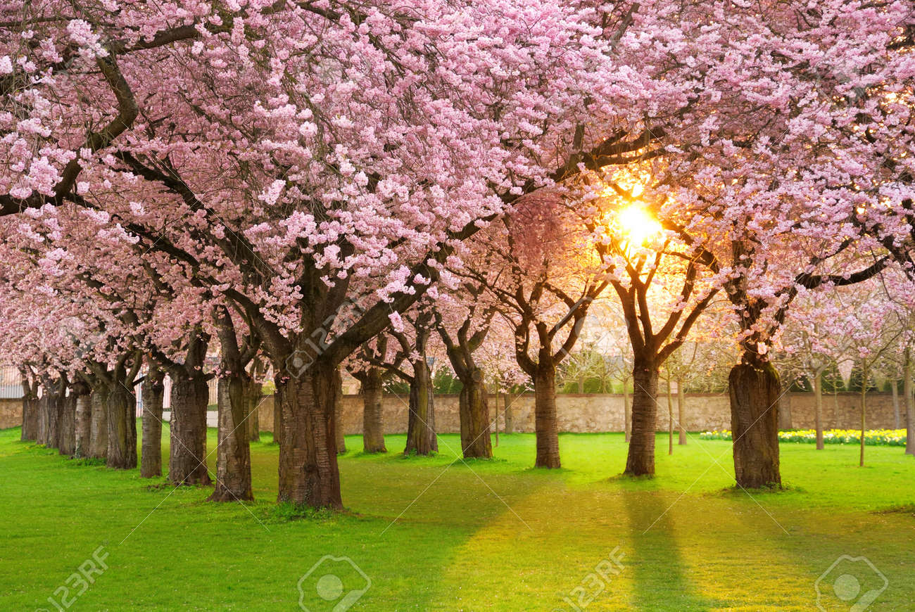 Richly blossoming cherry tree garden on a lawn with the sun shining through the branches Stock Photo - 12394263