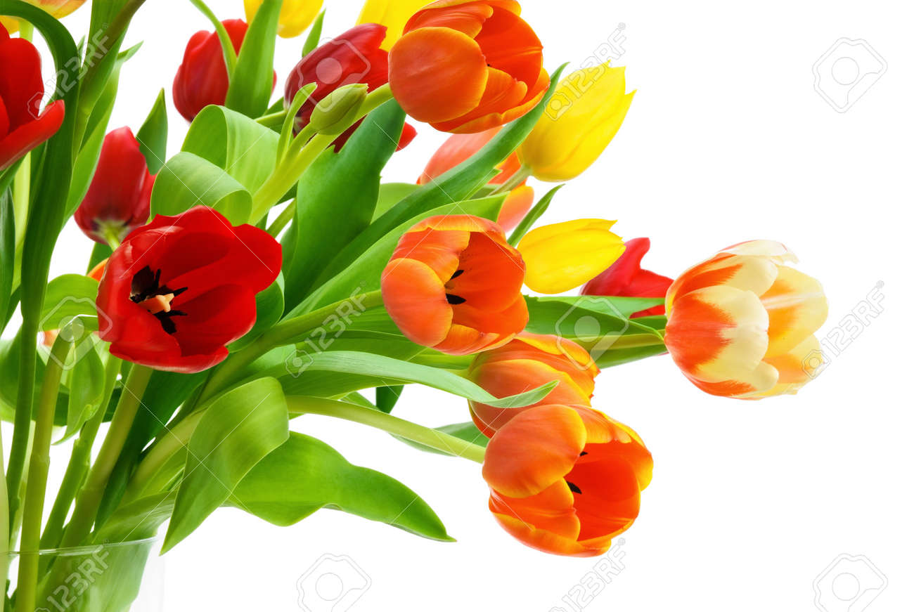 Studio isolation of gorgeous colorful tulips with fresh large blossoms Stock Photo - 12881518
