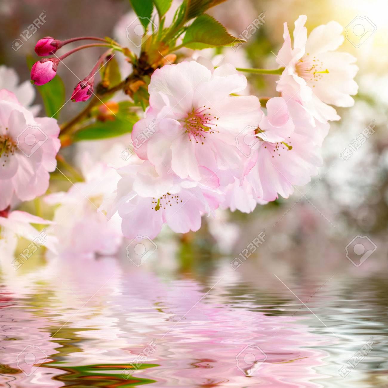 Cerezos En Flor De Cerca Con El Agua Debajo, Mostrando Su Reflexión ...