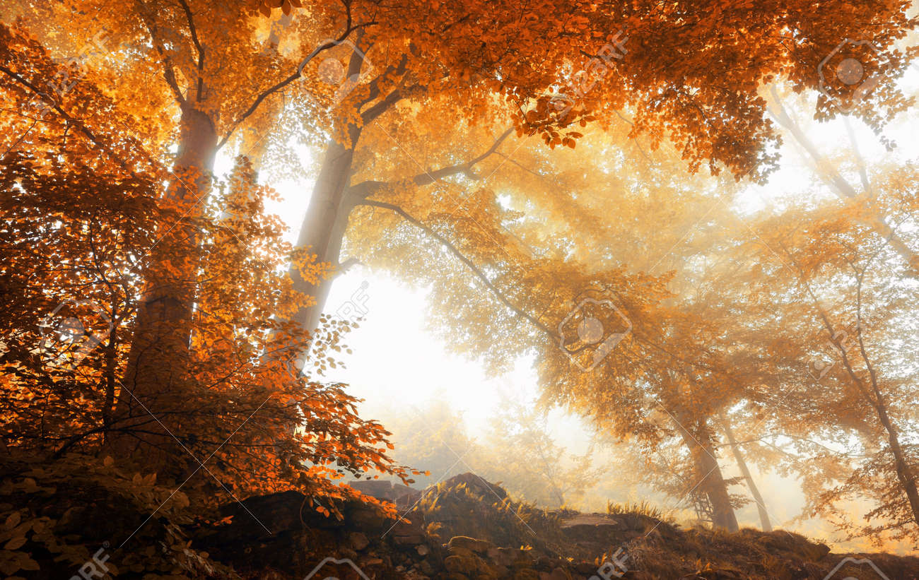 Beech trees in a scenic misty forest in autumn, with soft light and warm vibrant colors - 45080527