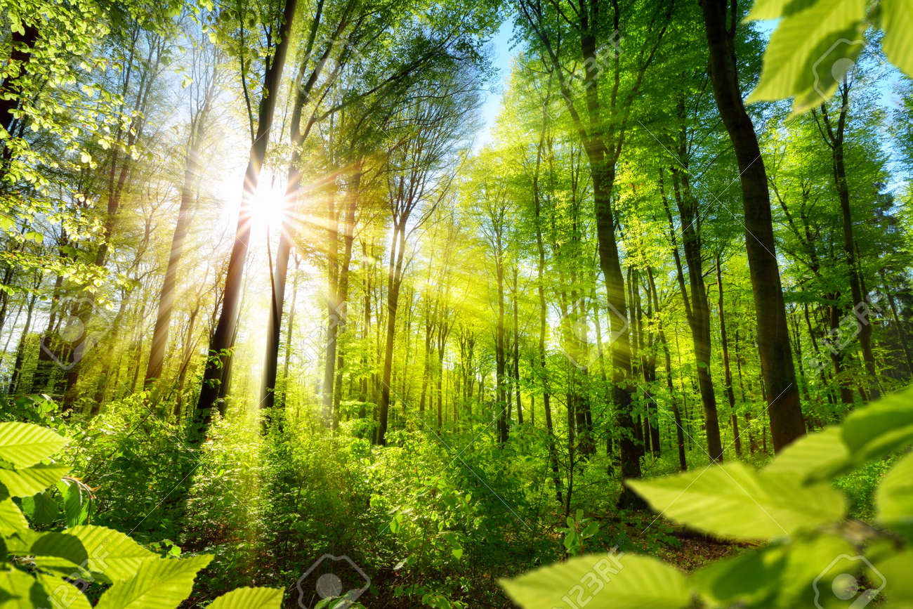 Scenic forest of fresh green deciduous trees framed by leaves, with the sun casting its warm rays through the foliage - 55444247