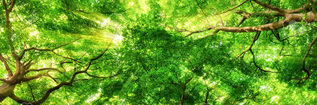 Sunrays shining through green leaves of high treetops in a beech forest, panorama format - 55444249