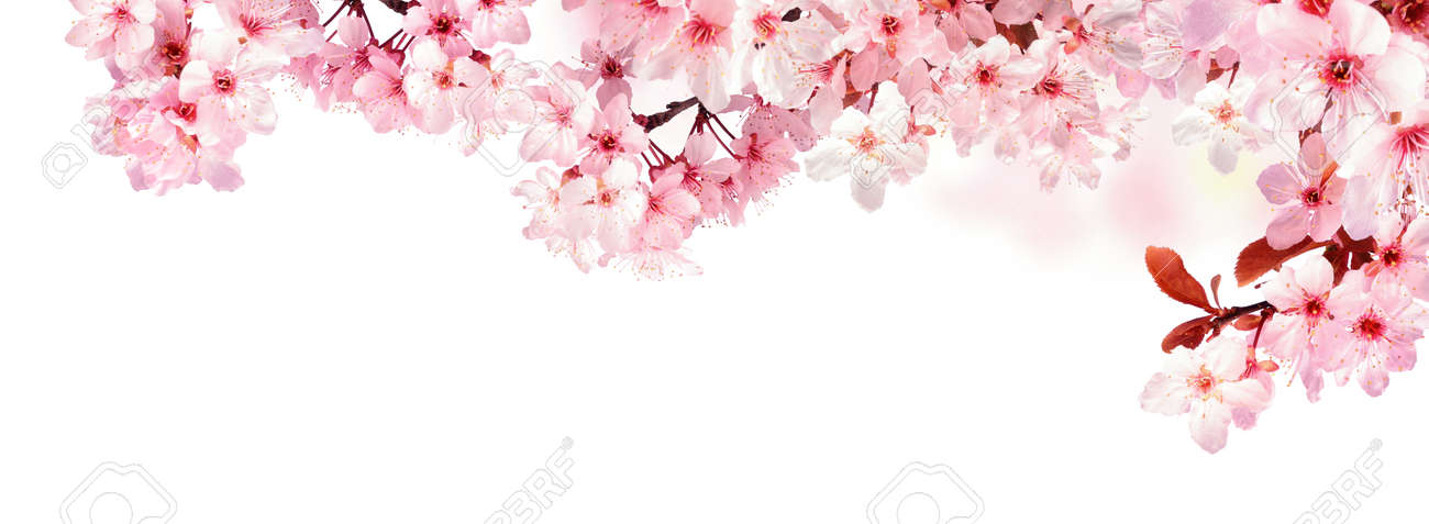 Dreamy cherry blossoms as a natural border, studio isolated on pure white background, panorama format - 55444278