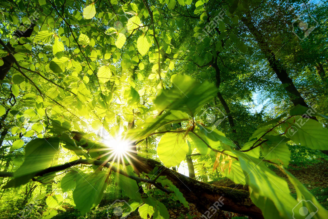 Rays of sunlight beautifully shining through the green leaves of a beech tree just above the forest ground - 55540375