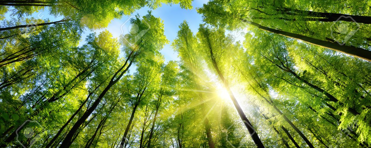The sun beautifully illuminating the green treetops of tall beech trees in a forest clearing, panorama shot - 60756232
