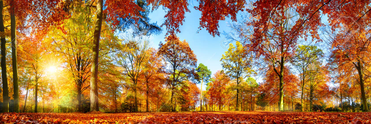 Panorama of colorful trees in a park in autumn, a lively landscape with the sun shining through the foliage - 65438180