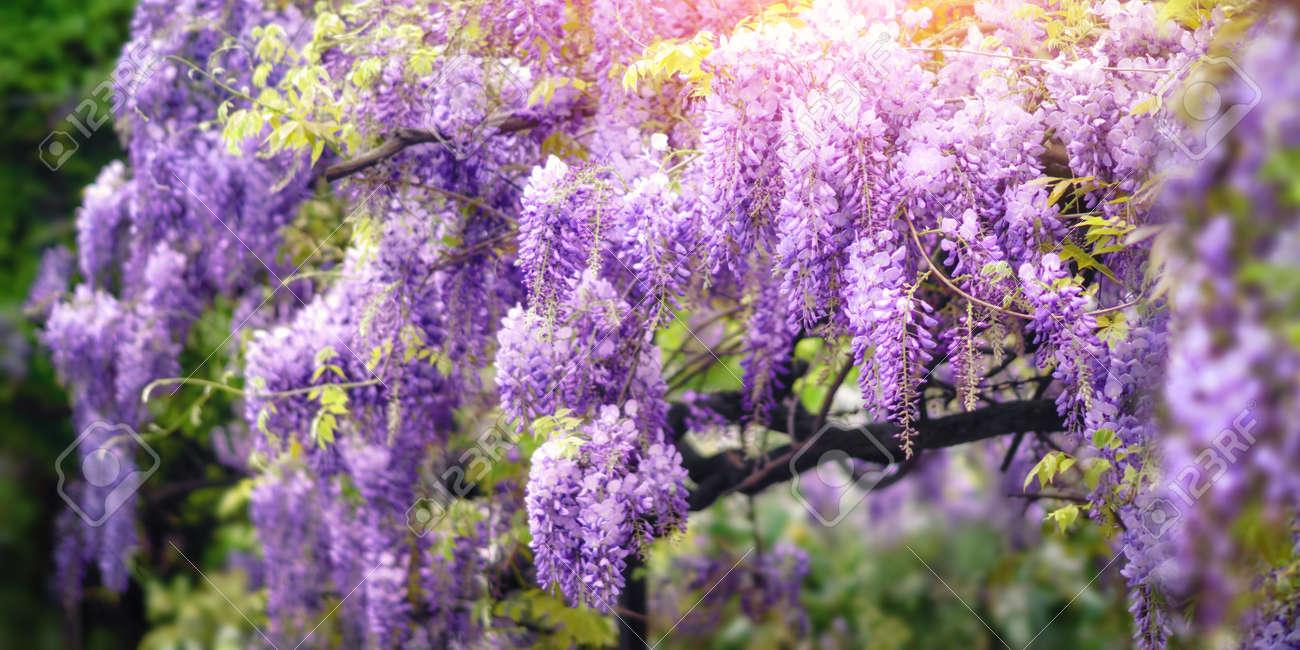 giardino colpo da sogno di fiori di glicine in fiore in un bel
