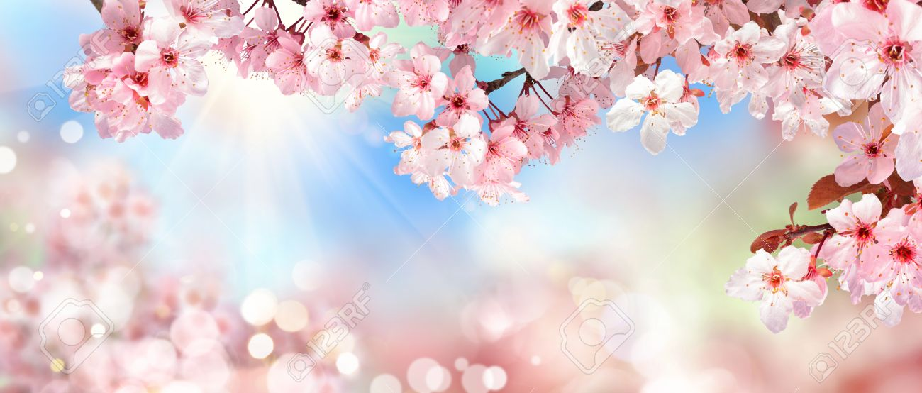 Panoramic spring scenery with beautiful pink cherry blossoms, bokeh background, the sun and blue sky - 73321030