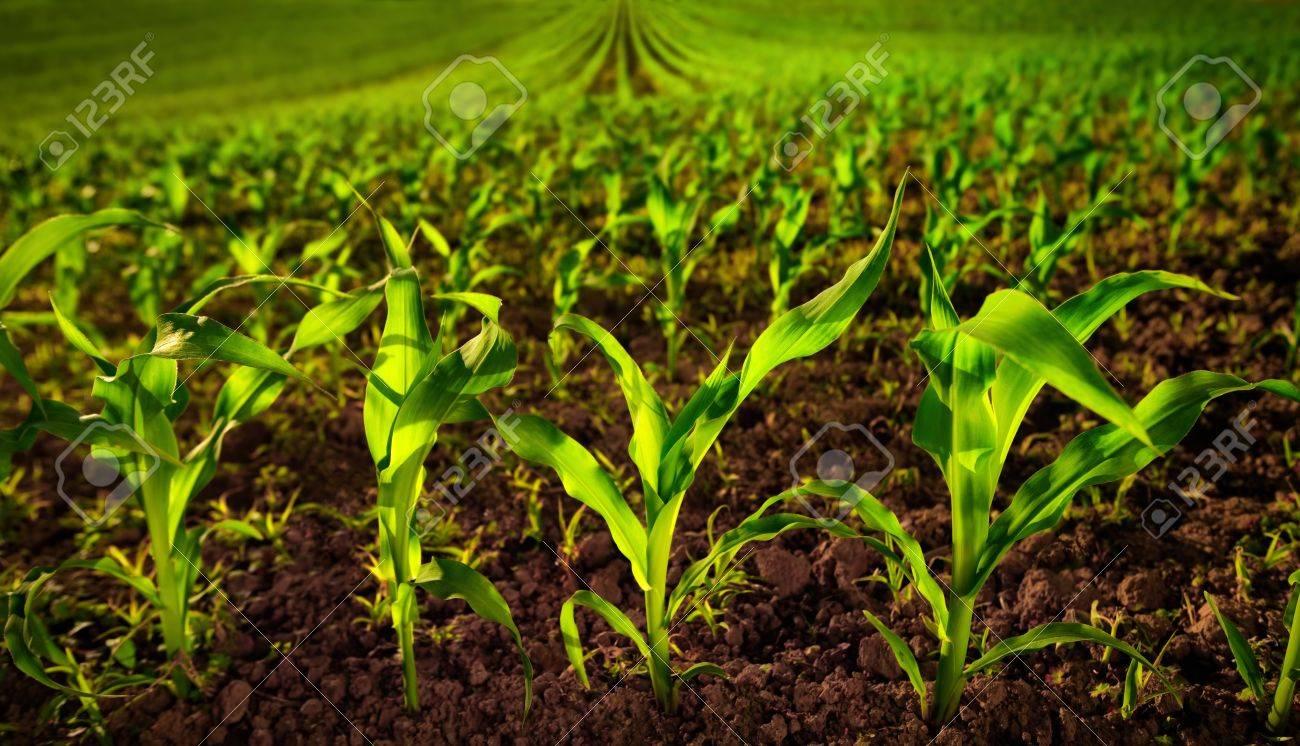 Champ de maïs avec de jeunes plantes sur sol fertile, un closeup avec un  vert vibrant sur brun foncé