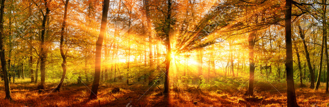 Autumn forest panoramic landscape shot with vivid gold sunrays falling through the trees - 86579407