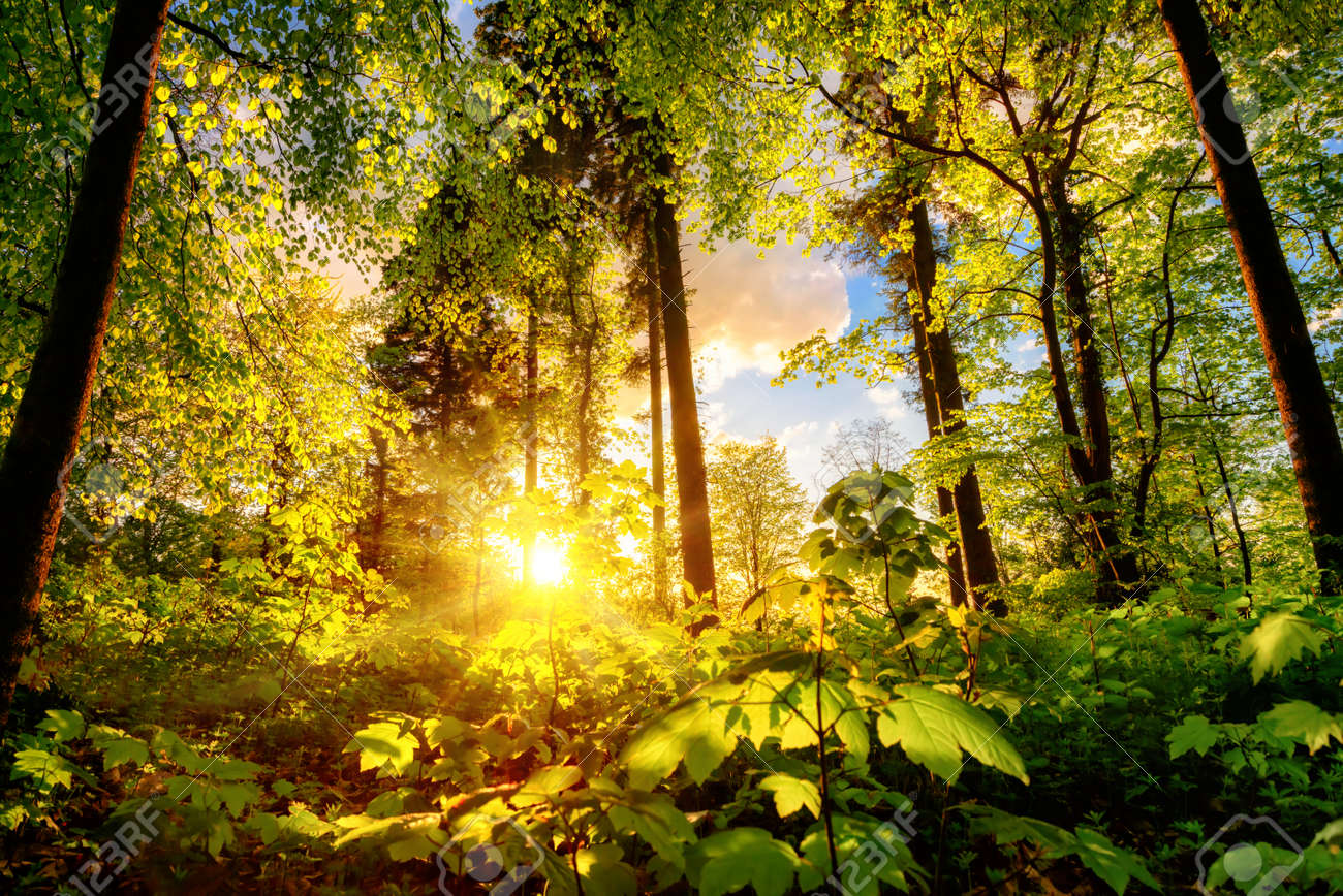 Luminous scenery in a forest clearing or park, with the foliage nicely illuminated by the warm sunset light - 149652488