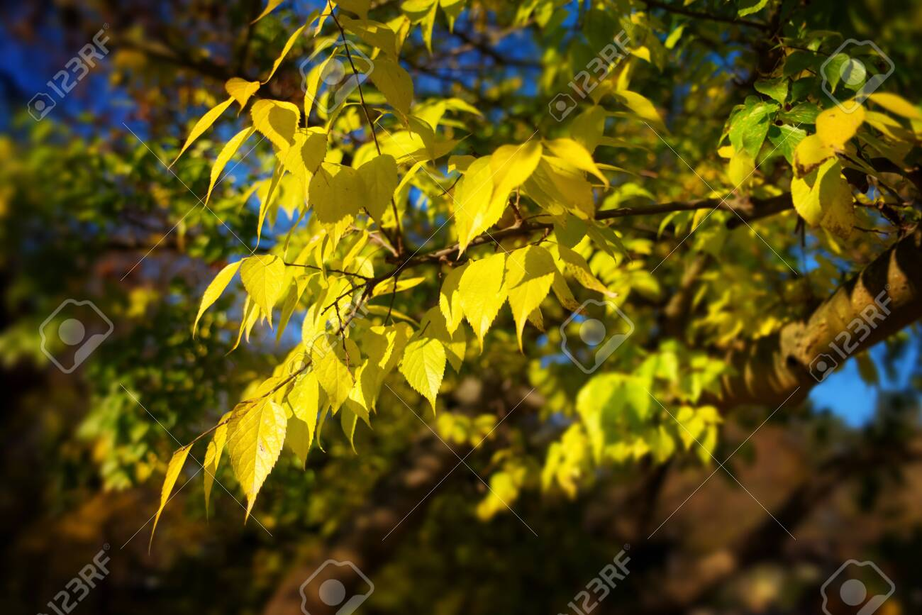 Bright yellow leaves on a branch in a park against dark blurry background, with soft glow effect in the sunlight - 148830137