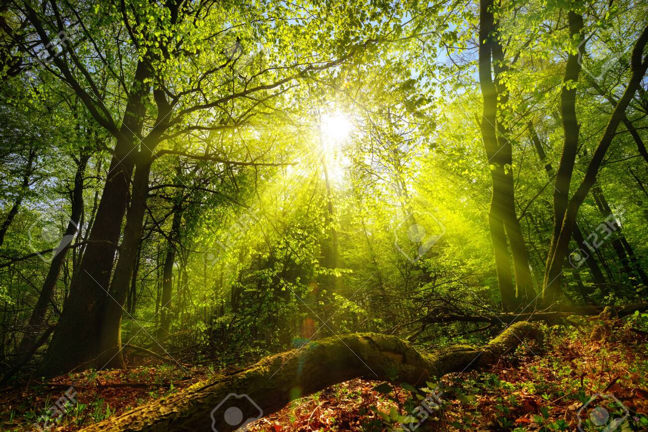Dreamy green landscape scenery: a forest clearing with the sun shining through green foliage - 150181707