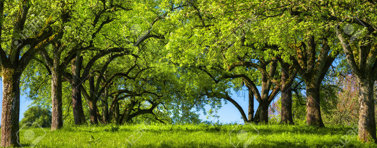 Canopy of rows of trees on a green meadow build a beautiful natural archway, a rural landscape in panoramic format - 150180988