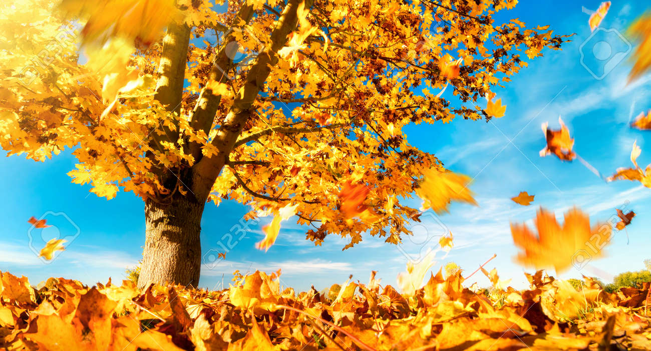 Maple tree against the blue sky on a nice autumn day, with yellow leaves falling to the ground - 151615449