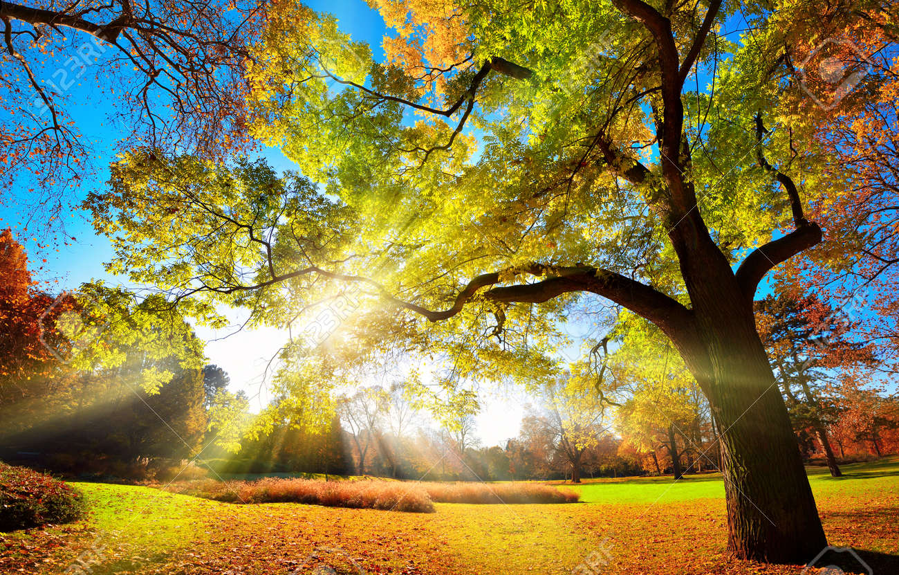 Colorful autumn landscape shot of a gorgeous tree changing foliage colors in a park, with blue sky and the sun rays falling through the branches - 151577916