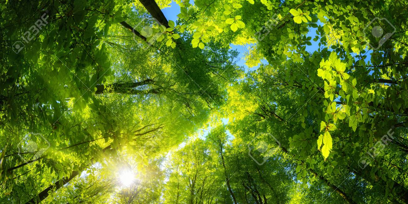 Elevating panoramic upwards view to the canopy in a beech forest with fresh green foliage, sun rays and clear blue sky - 151578442