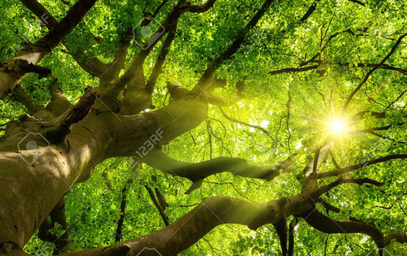 Green beautiful canopy of a big beech tree with the sun shining through the branches and lush foliage - 155806514