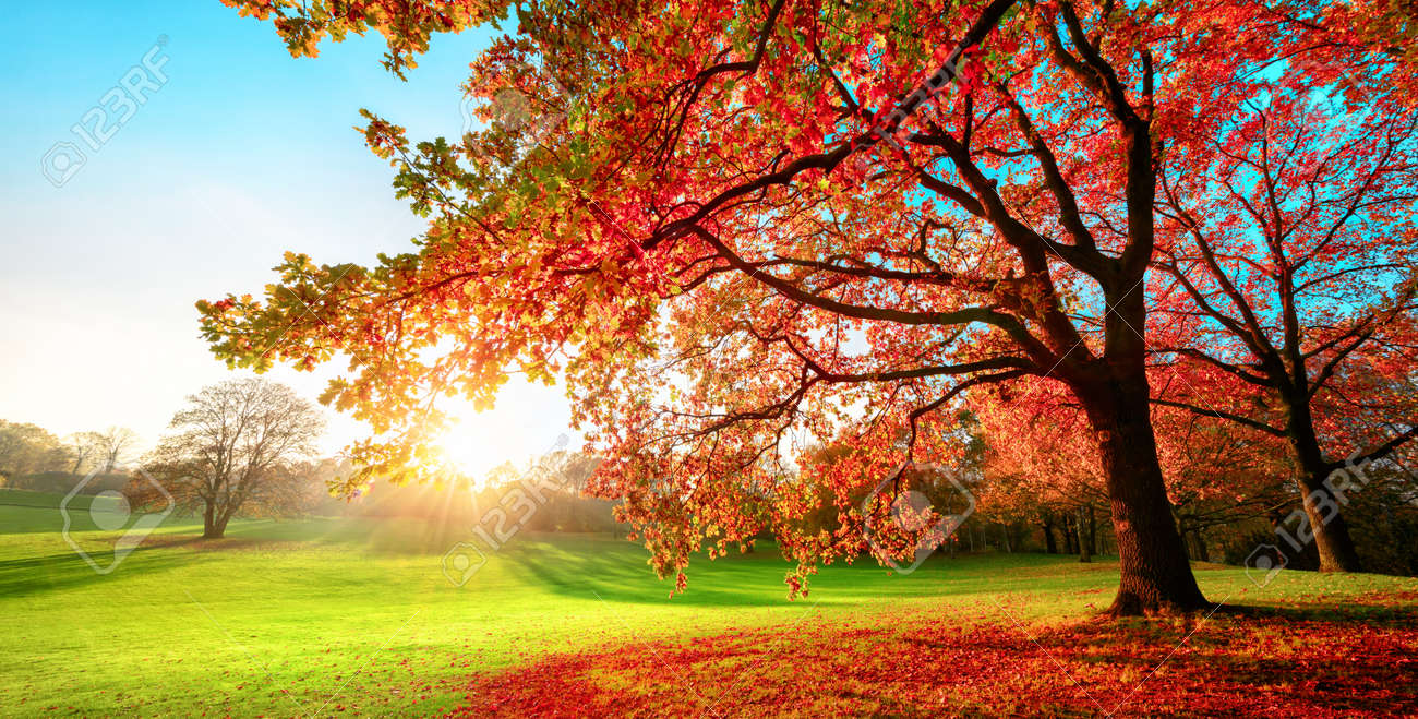 Sunny park in glorious autumn colors, with clear blue sky and the setting sun, a vast green meadow and a majestic oak tree with red leaves in the foreground - 155805919