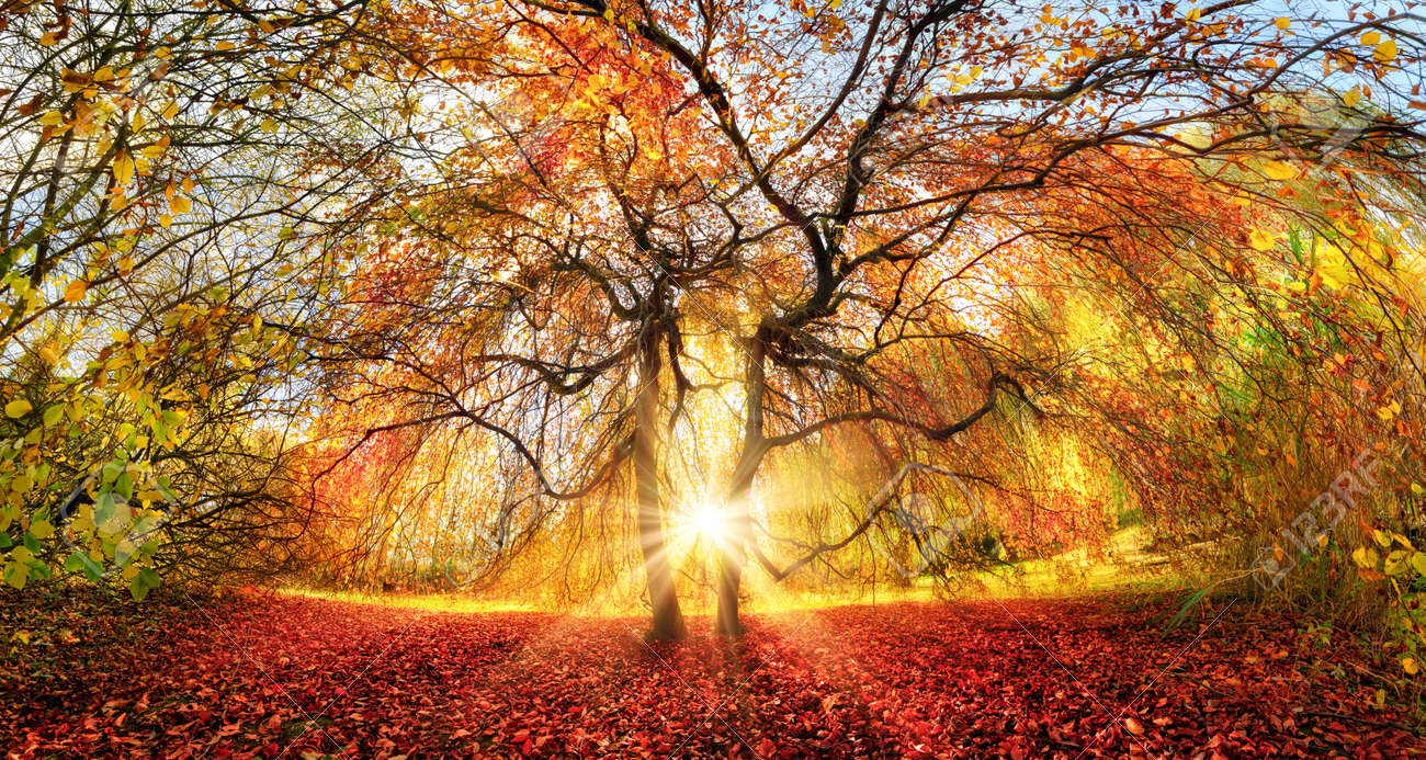 Distinctive tree with stunning autumn colors in a park, with the sun rays beautifully coming through from behind - 155771658