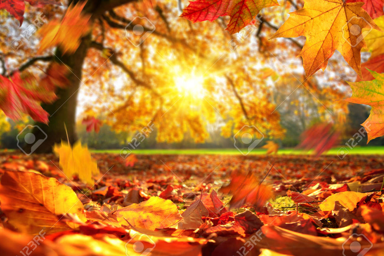 Lively closeup of autumn leaves falling on the ground in a park, with a majestic oak tree on a meadow in the background lit by the sun - 155450367