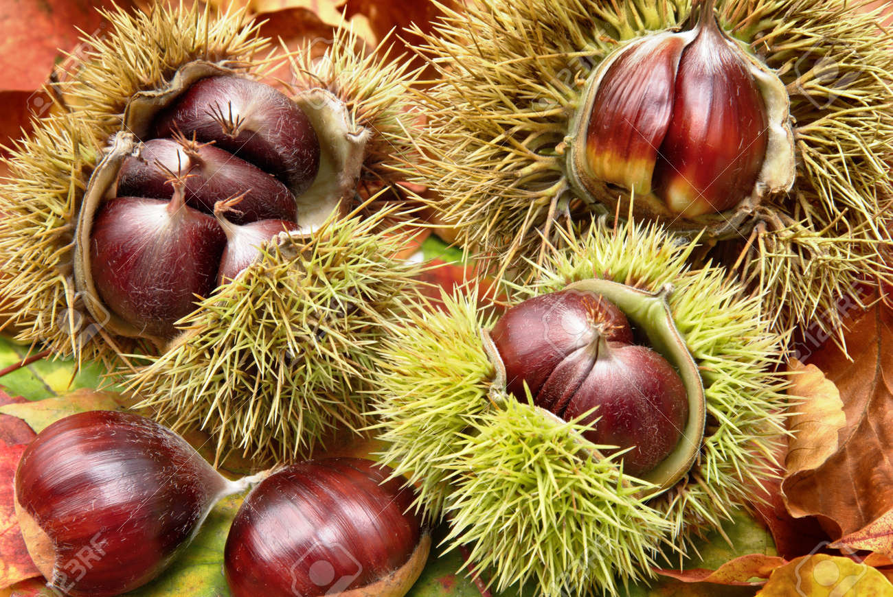 Fresh chestnuts with open husk on dry autumn leaves, studio shot - 155450686