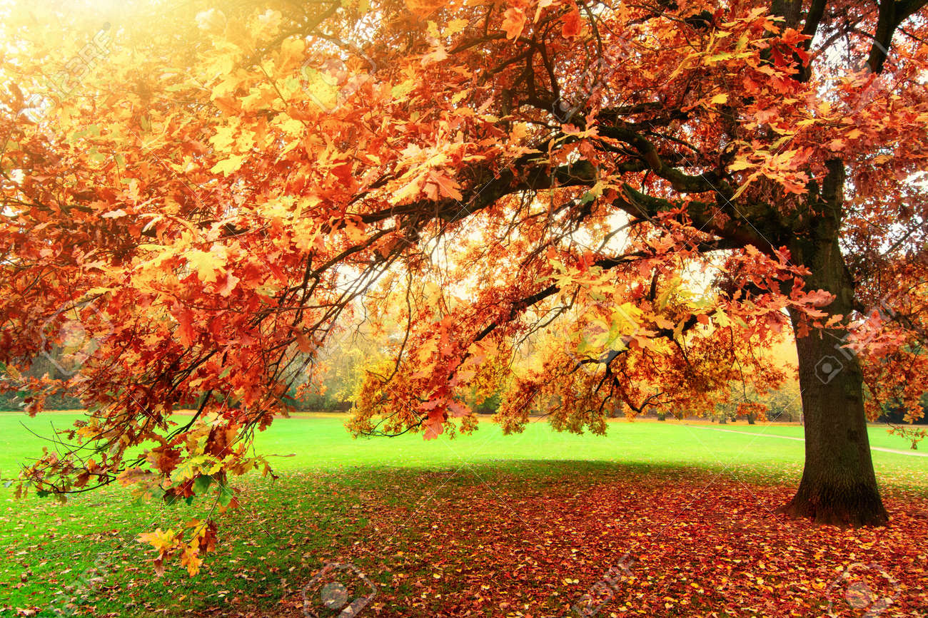 Tranquil autumn scenery showing a beautiful oak tree with colorful leaves standing on a meadow in a park, with soft light and warm sun flare - 156402624