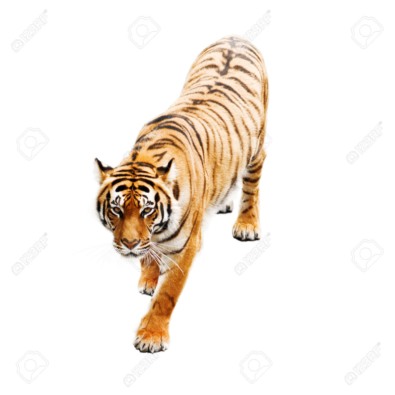 tiger isolated on white background stock photo, picture and royalty