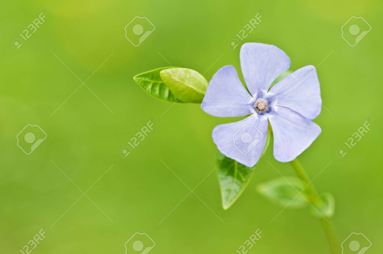 Fiore Azzurro Pervinca Su Sfondo Verde
