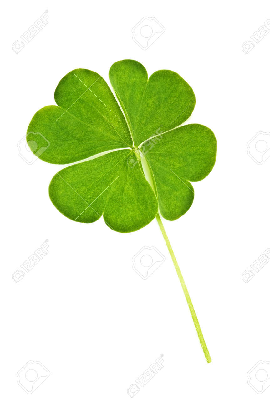 green clover isolated on white Stock Photo - 7921148