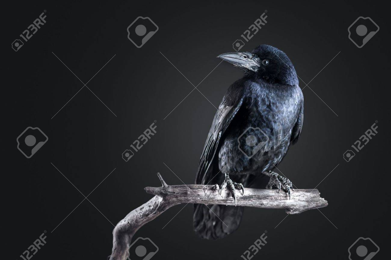 black crow portrait close up Standard-Bild - 18594456