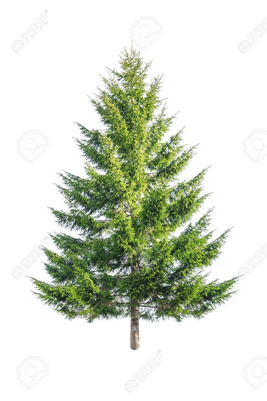 green fir isolated on white - 23431180