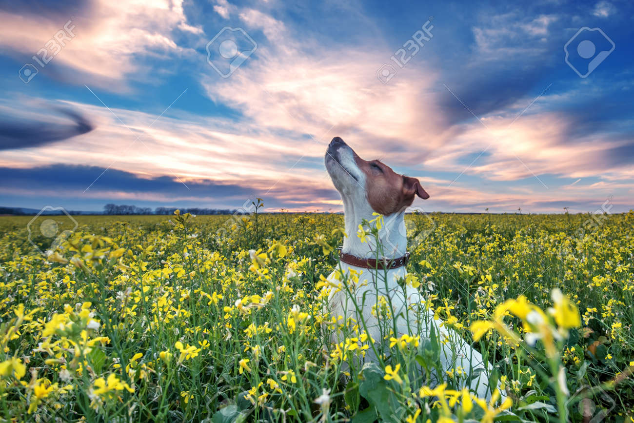 jack russel on flower meadow Standard-Bild - 24182932