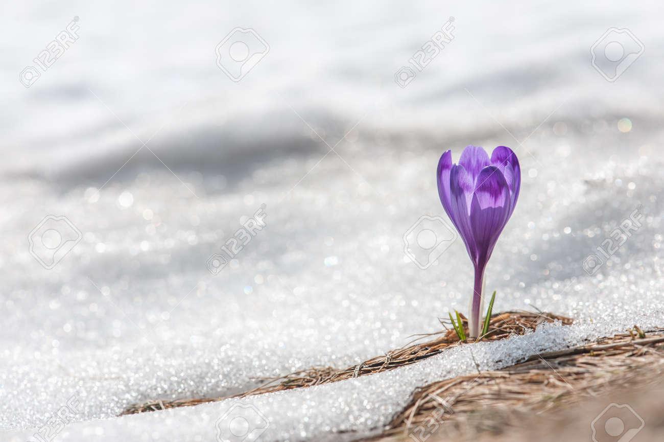 spring flower crocus close up Standard-Bild - 26748877
