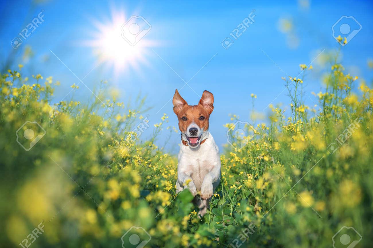 jack russel on flower meadow - 30471538