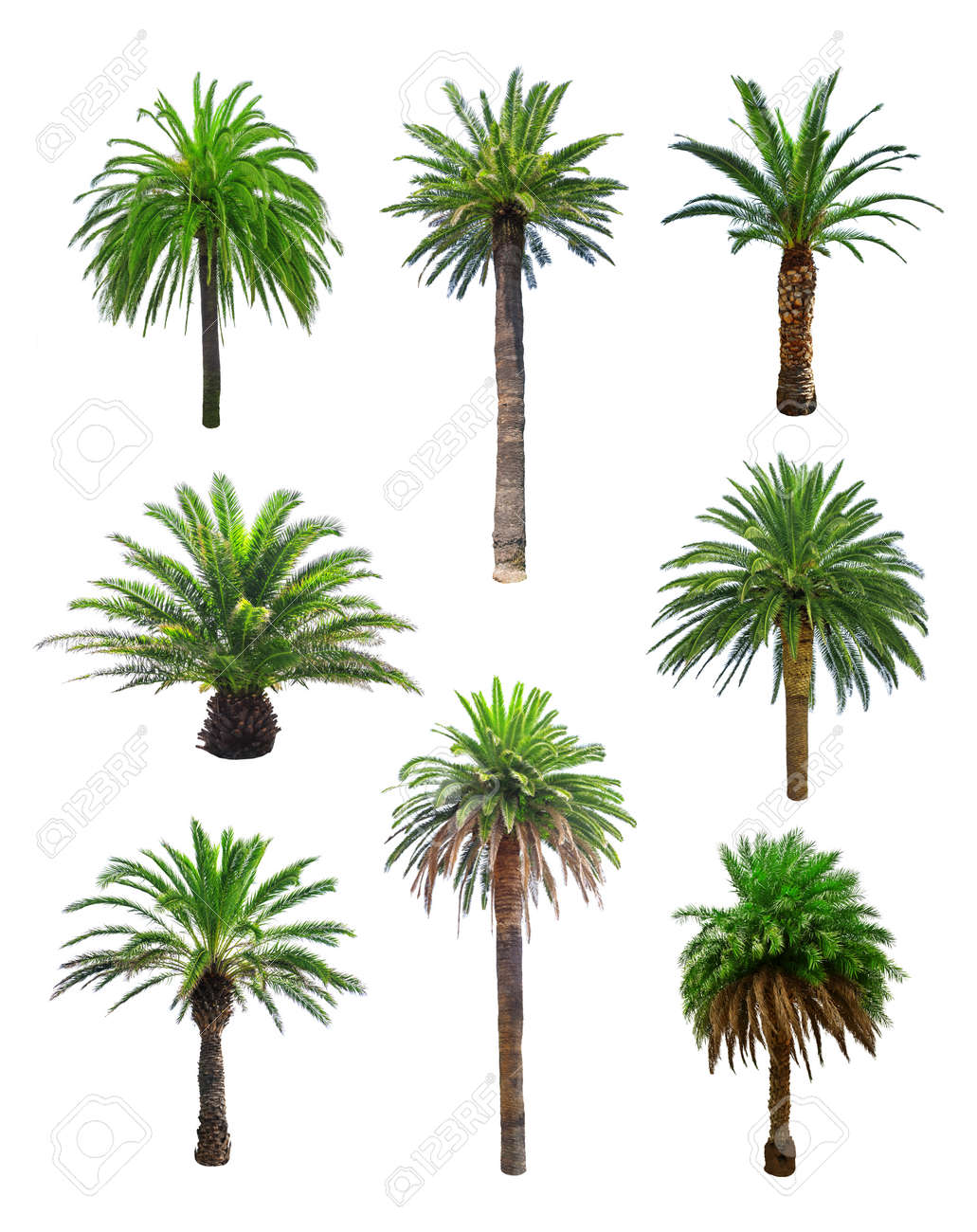 palm tree isolated on white Standard-Bild - 31733743