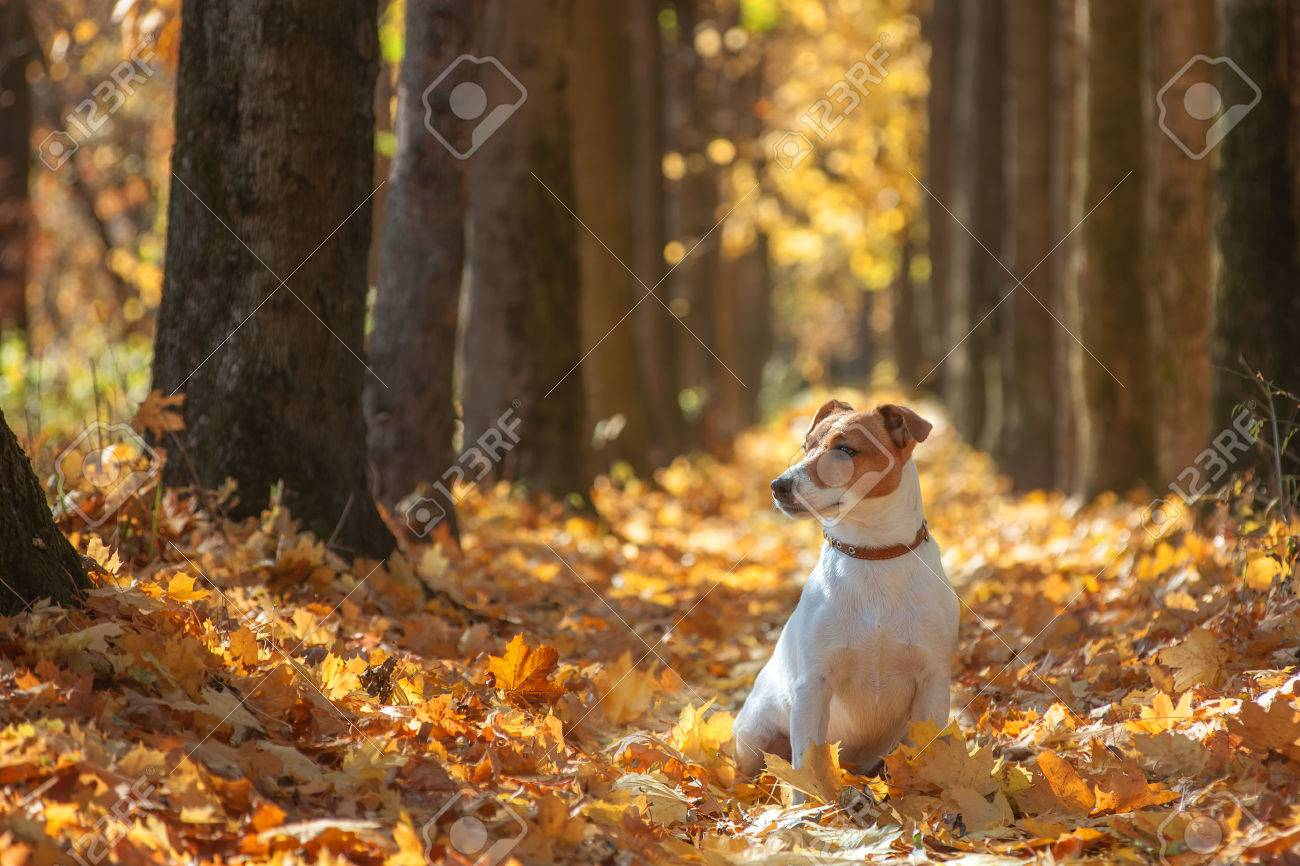 jack russel on autumn alley - 32054214