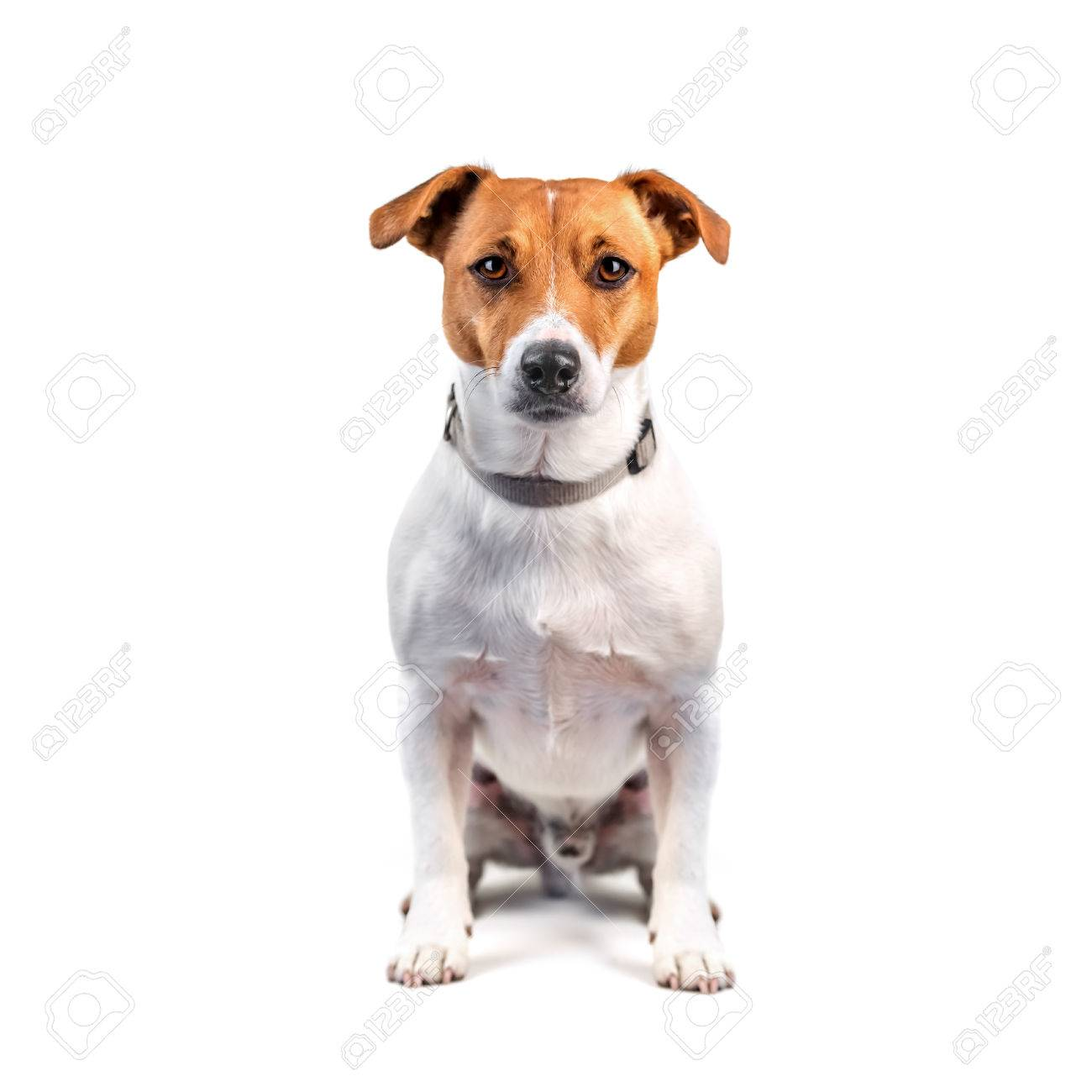 jack russel isolated on white - 32328578