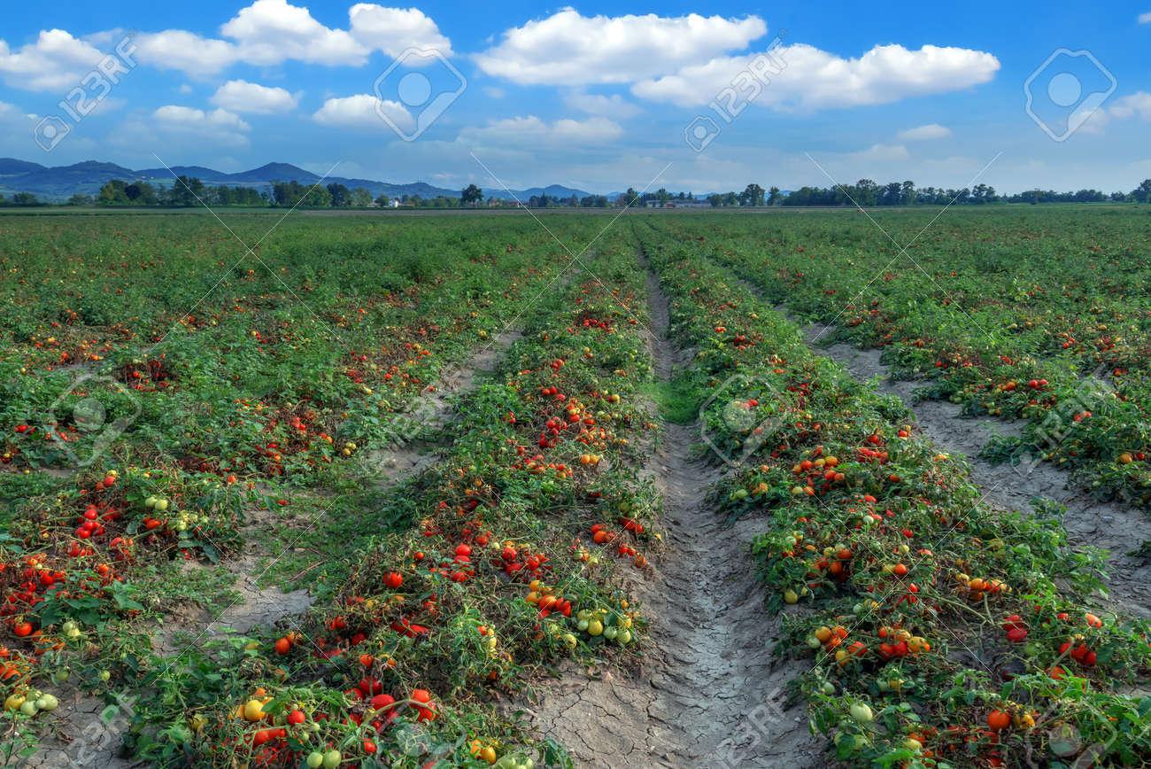 Tomatenfeld am Sommertag Standard-Bild - 36093005