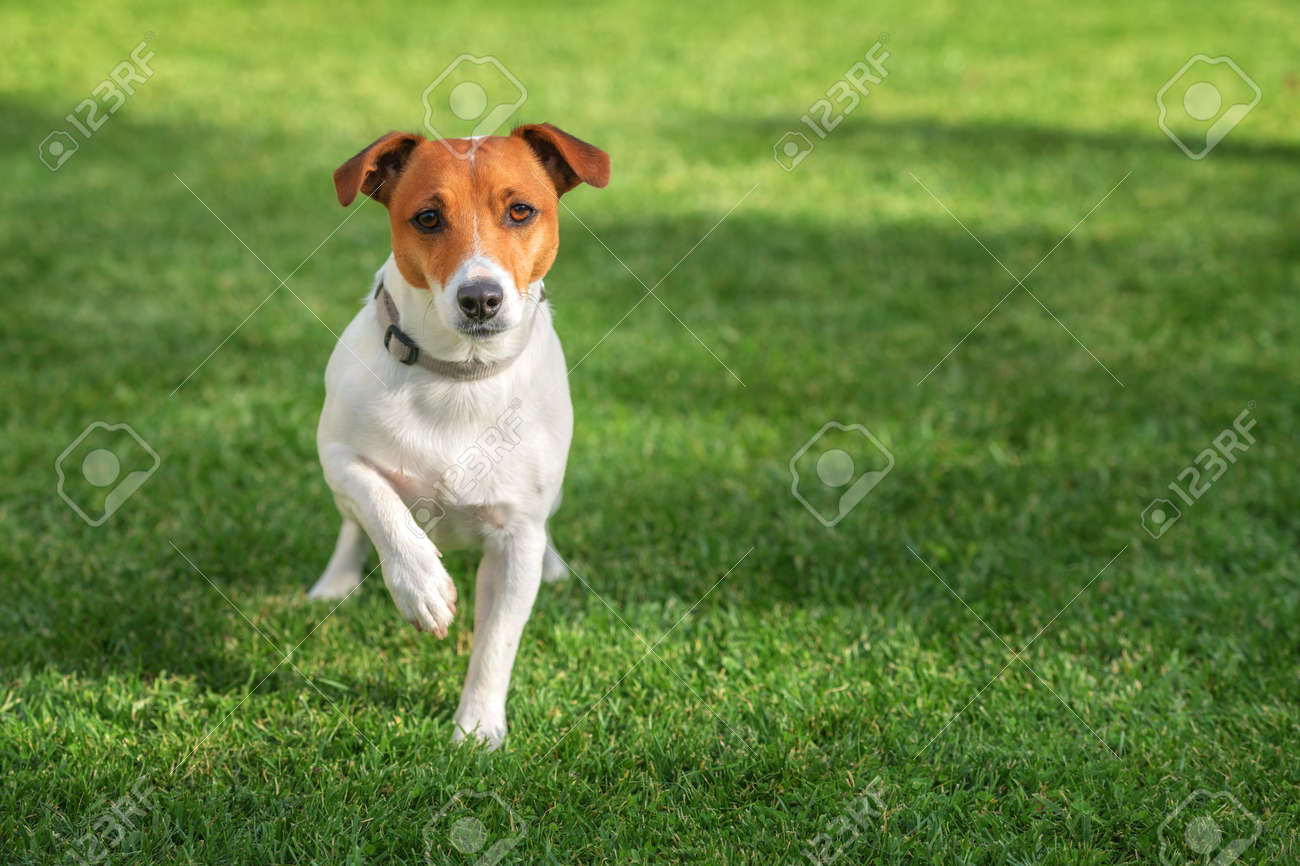 jack russel on green lawn - 36364109