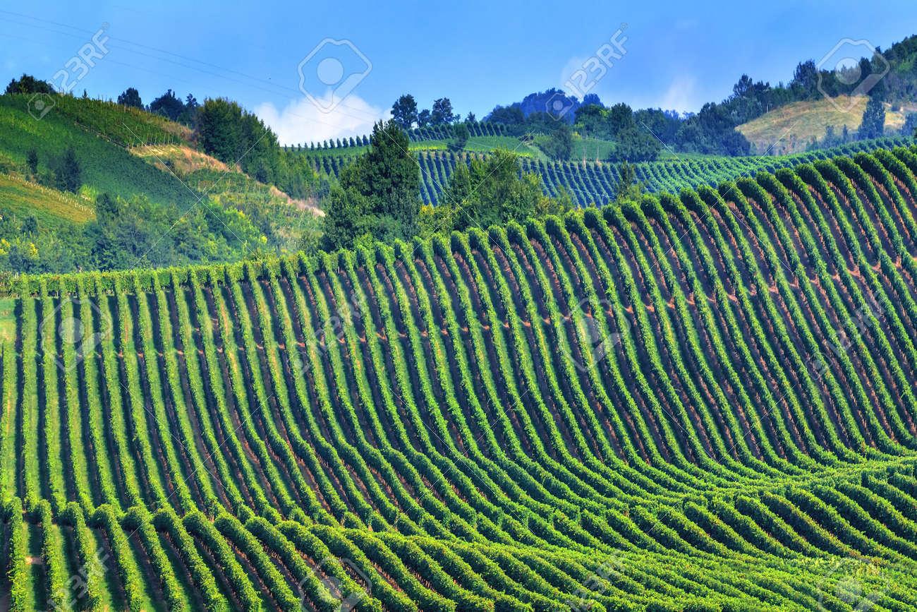 grüne Weinberg auf Italien Nahaufnahme Standard-Bild - 36364623