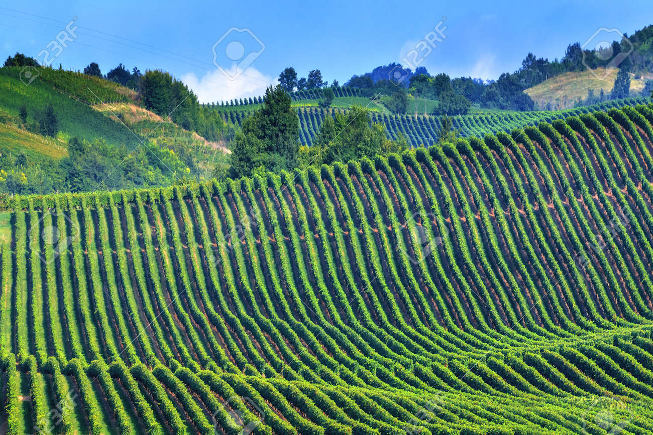 green vineyard on italy closeup Standard-Bild - 36364623