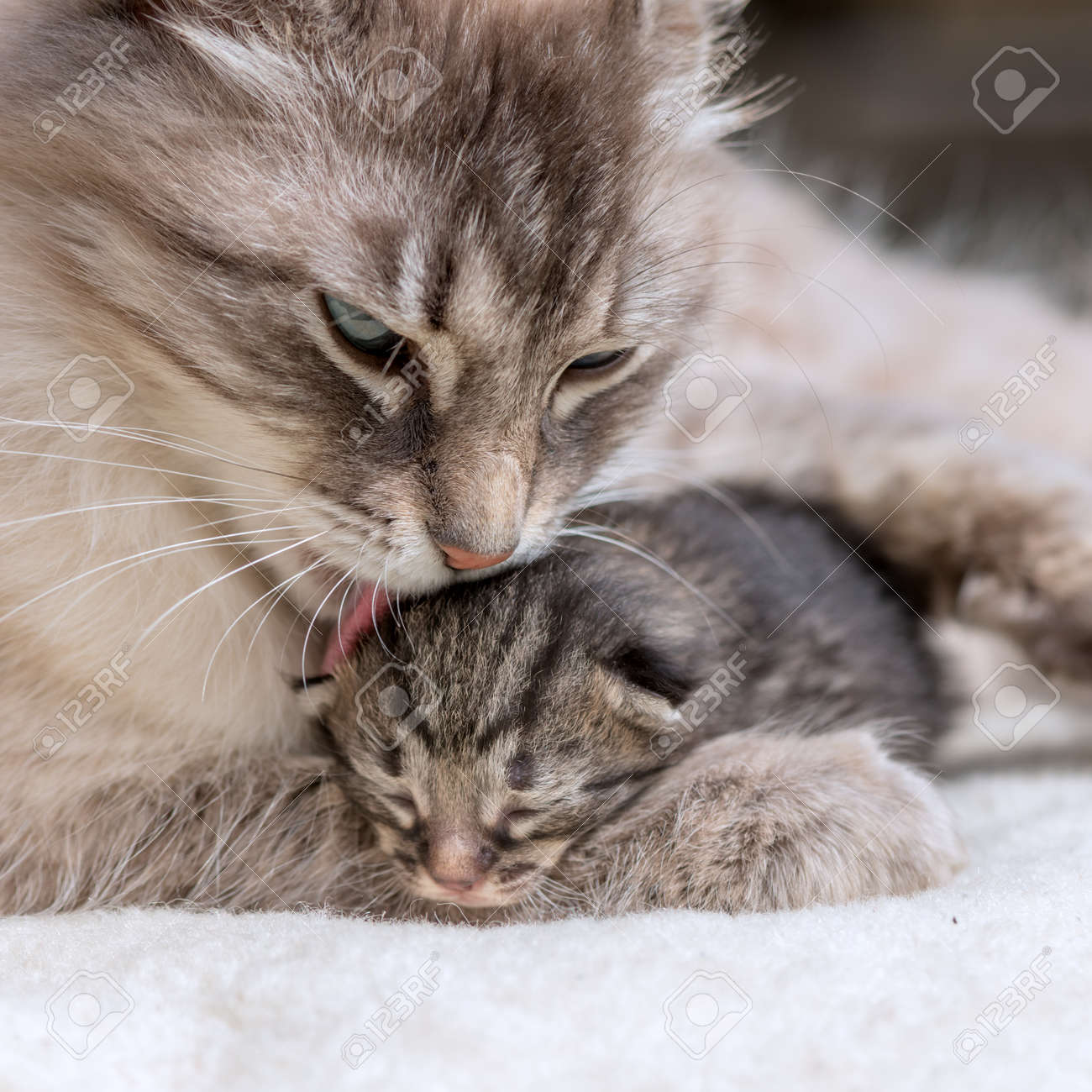 small kitten with mother close up - 46070316