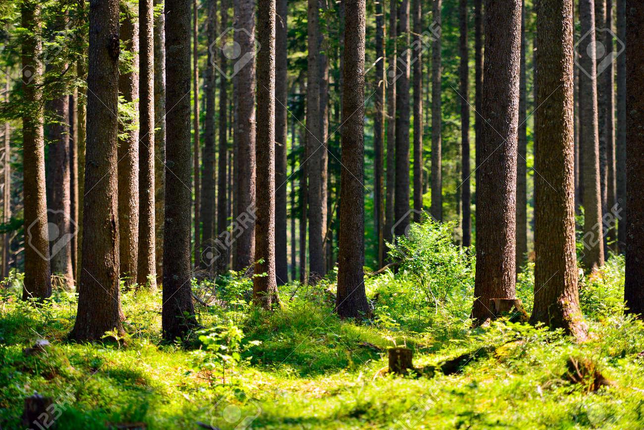 fairy tale fir tree forest - 47418557